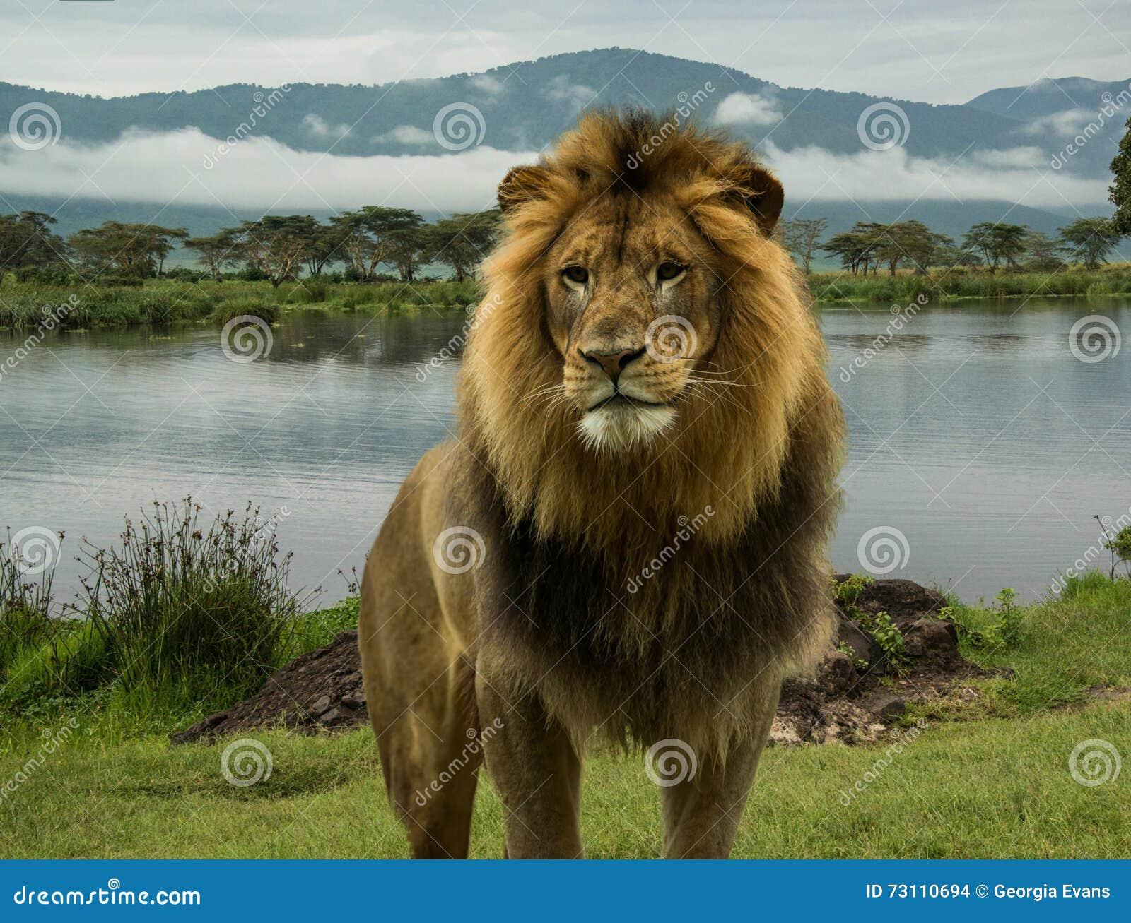 Afrykański lew przy jeziorem w Serengeti