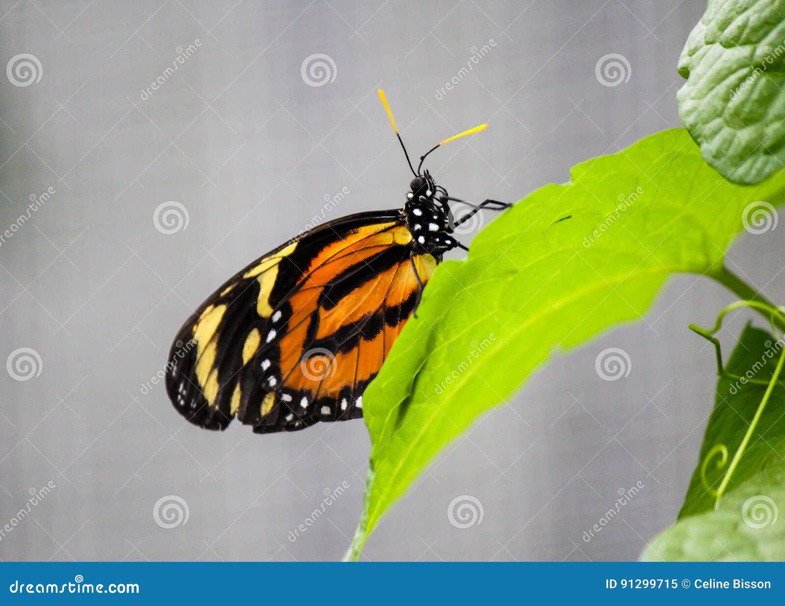 Afrykański Monarchiczny motyl na liściu