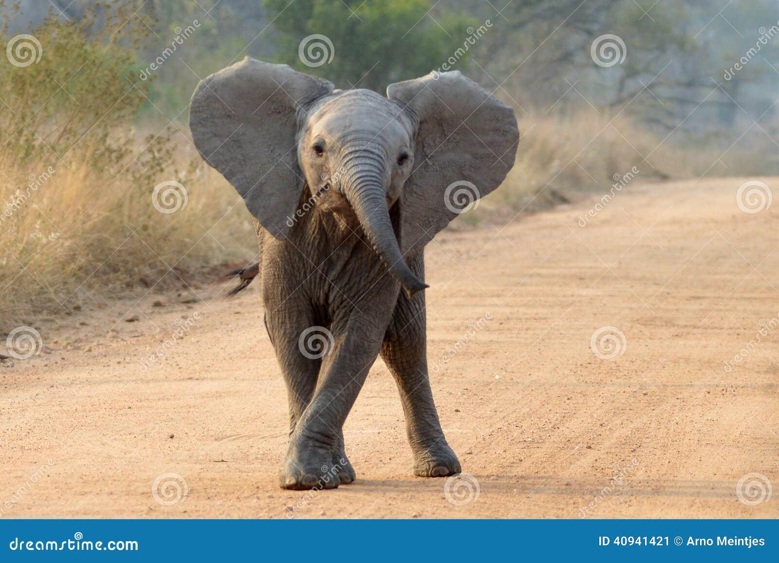 Afrykański słoń loxodonta africana krzaka