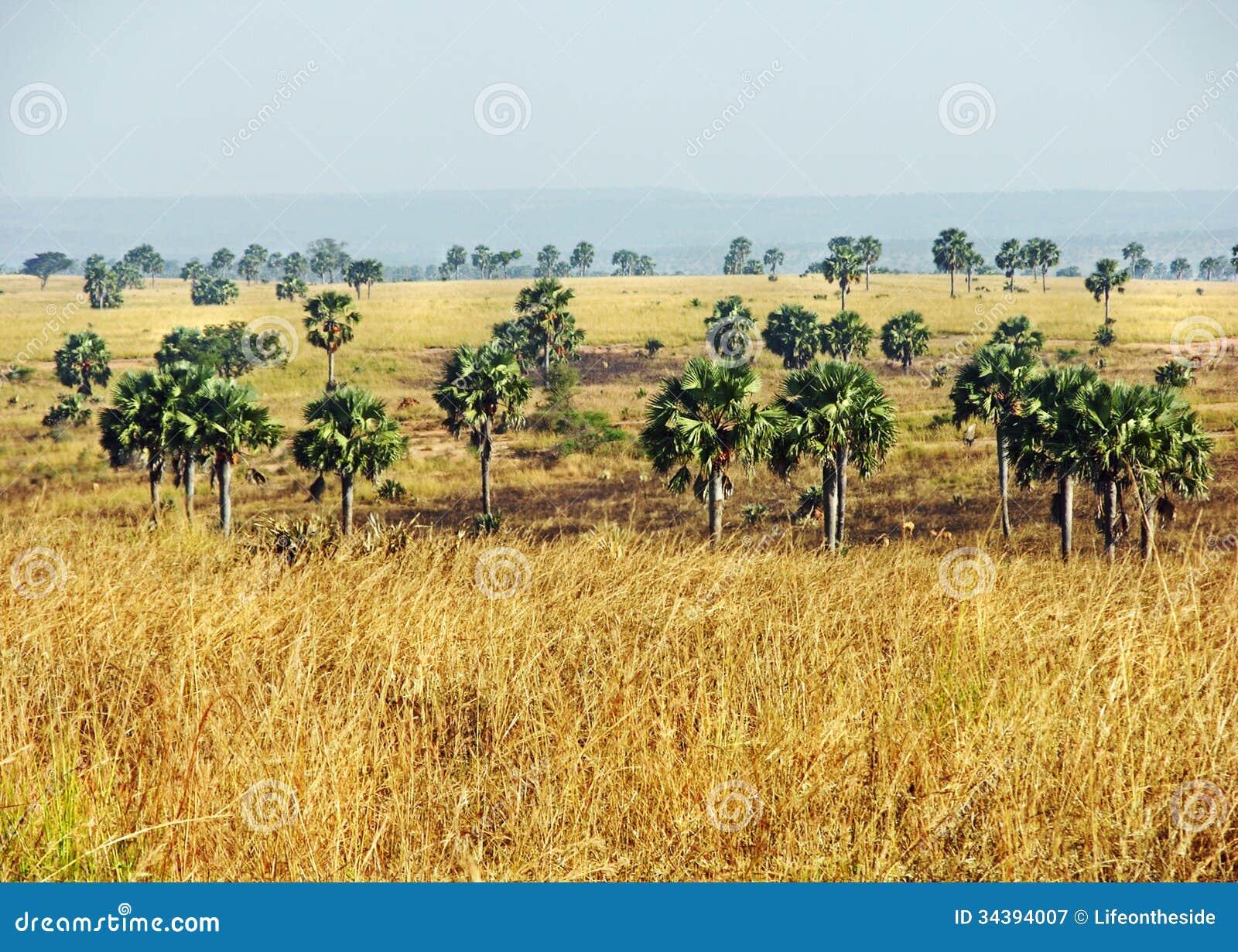 Afrykański sawanna krajobraz Uganda & drzewka palmowe