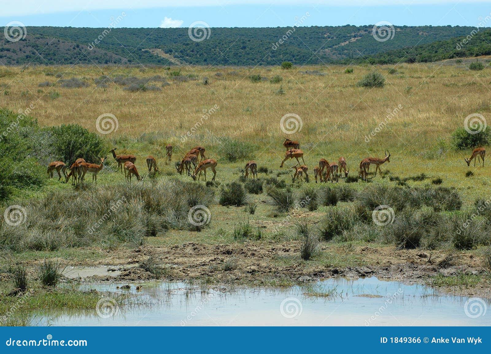 Afrykański scena