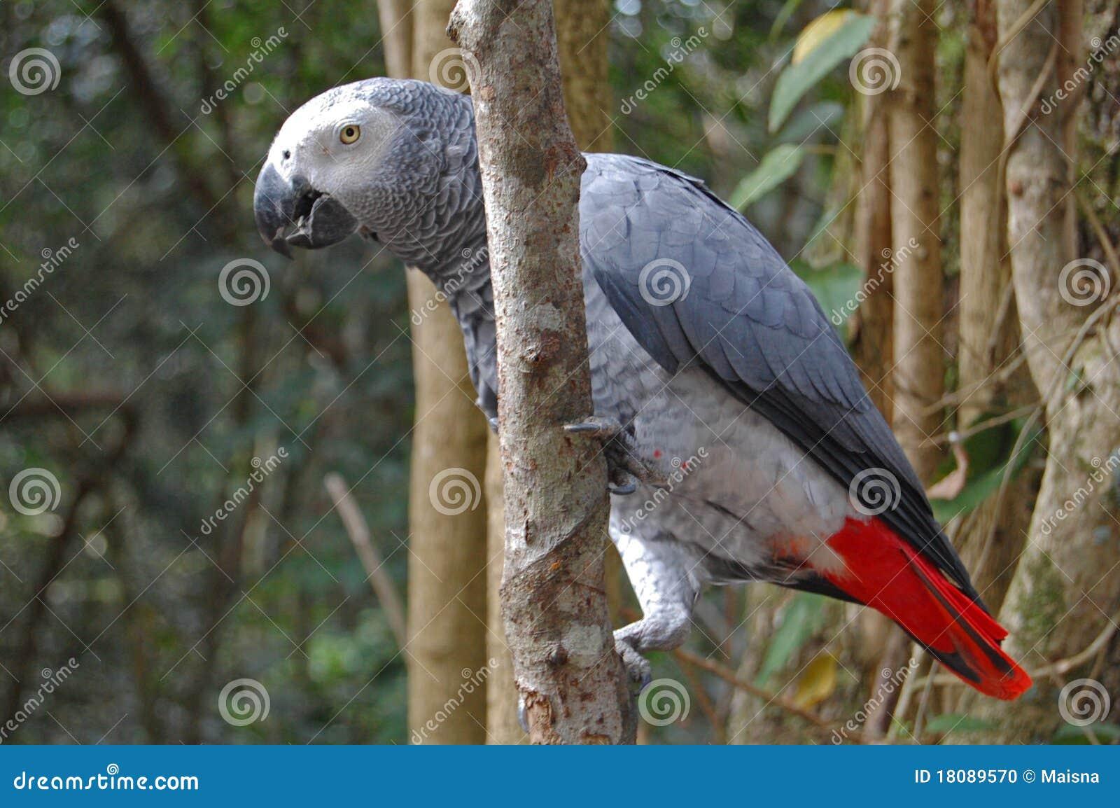 Afrykańskiego grey papuga