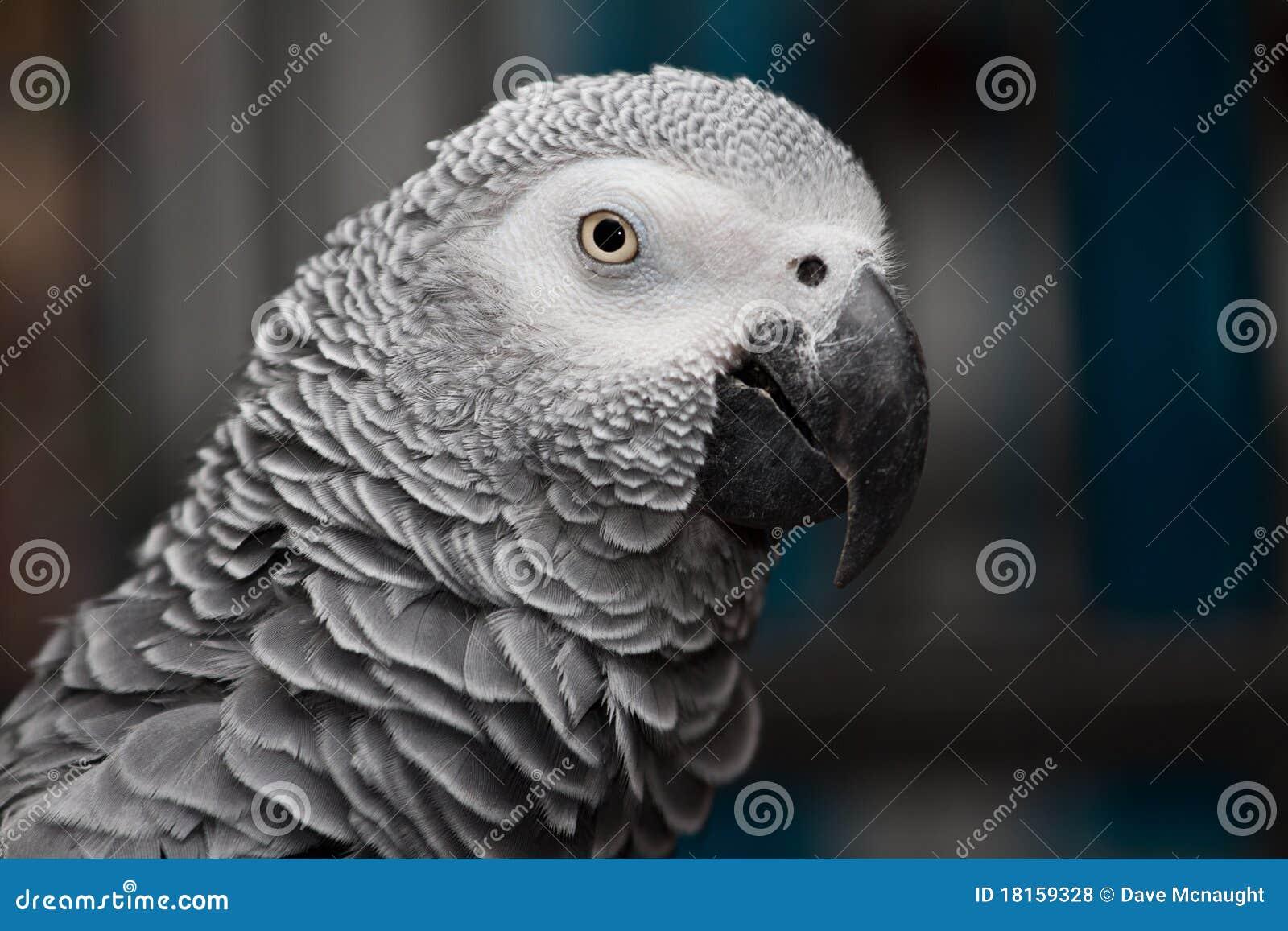 Afrykańskiego grey rosie