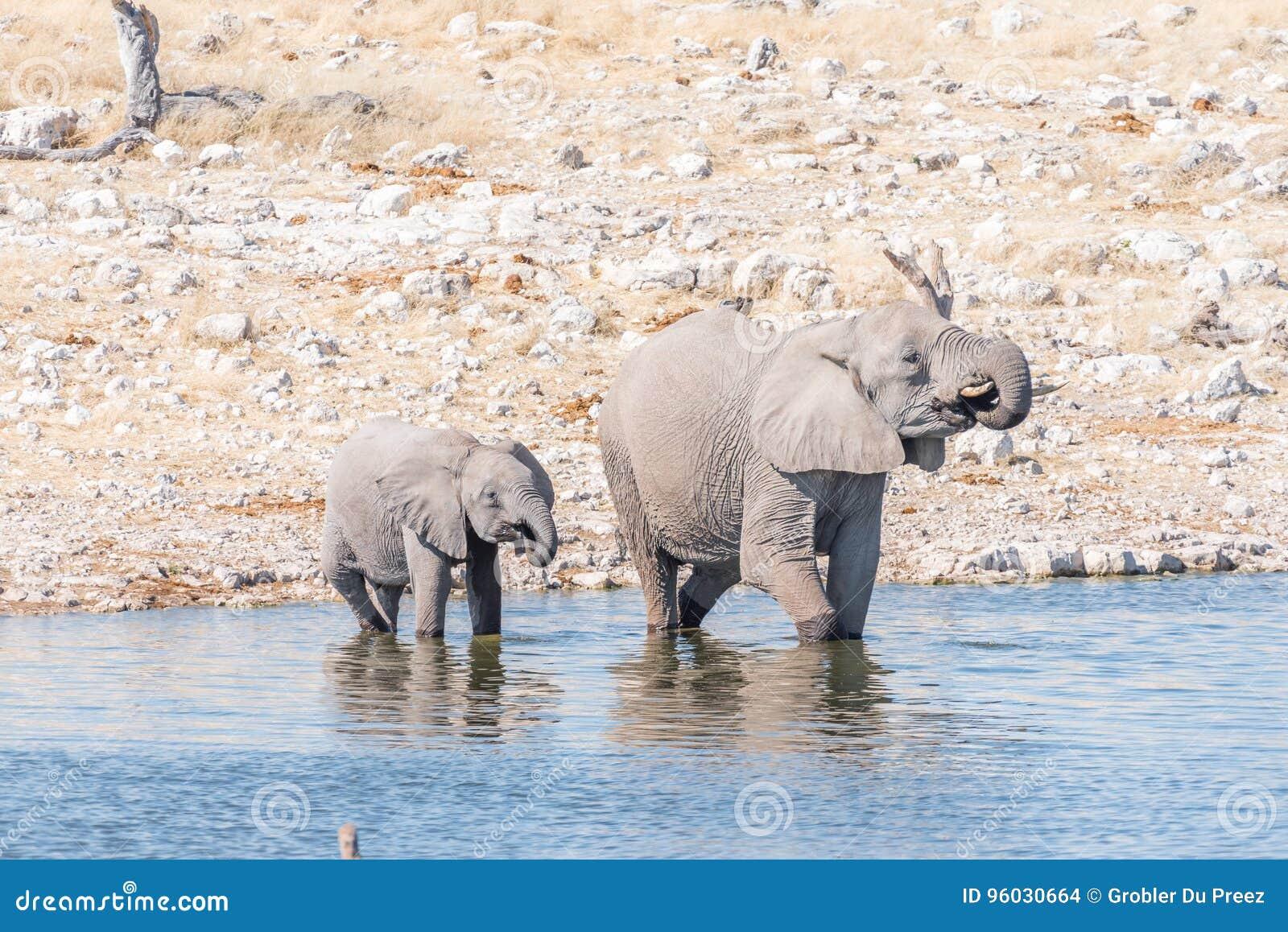 Afrykańskiego słonia krowa i łydki woda pitna