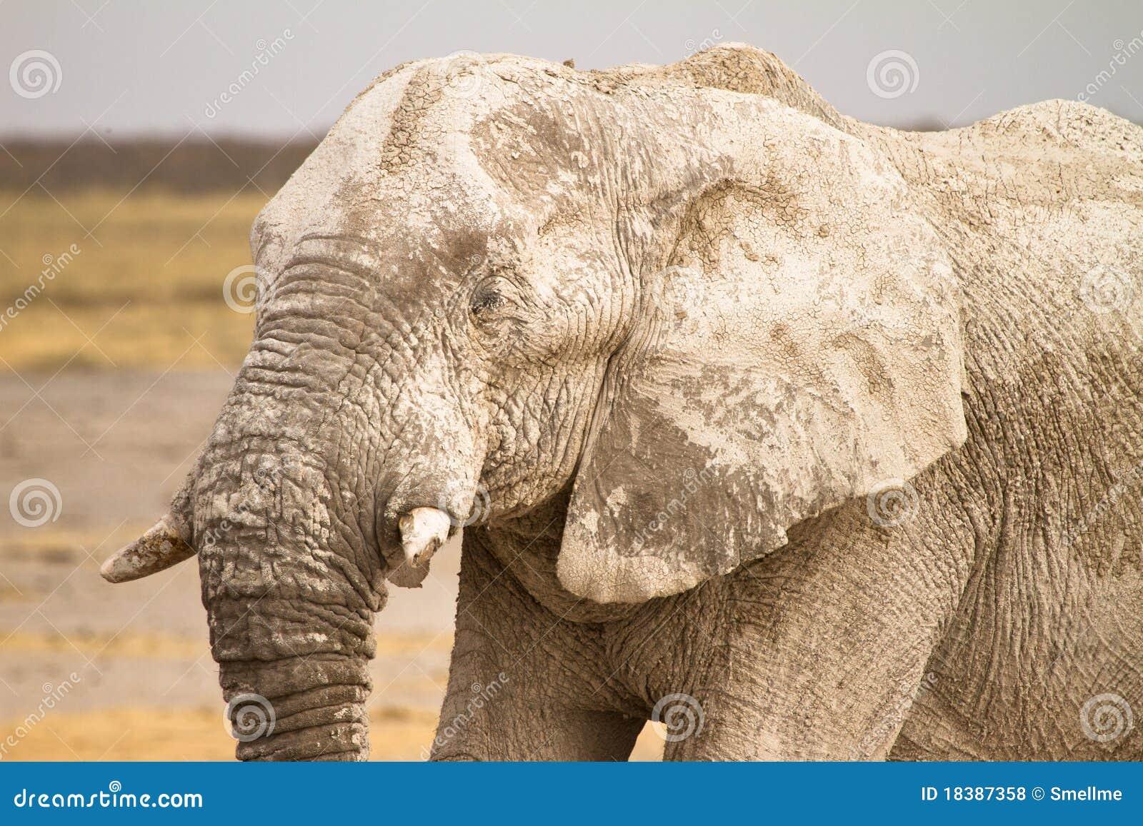 Afrykańskiego słonia portret