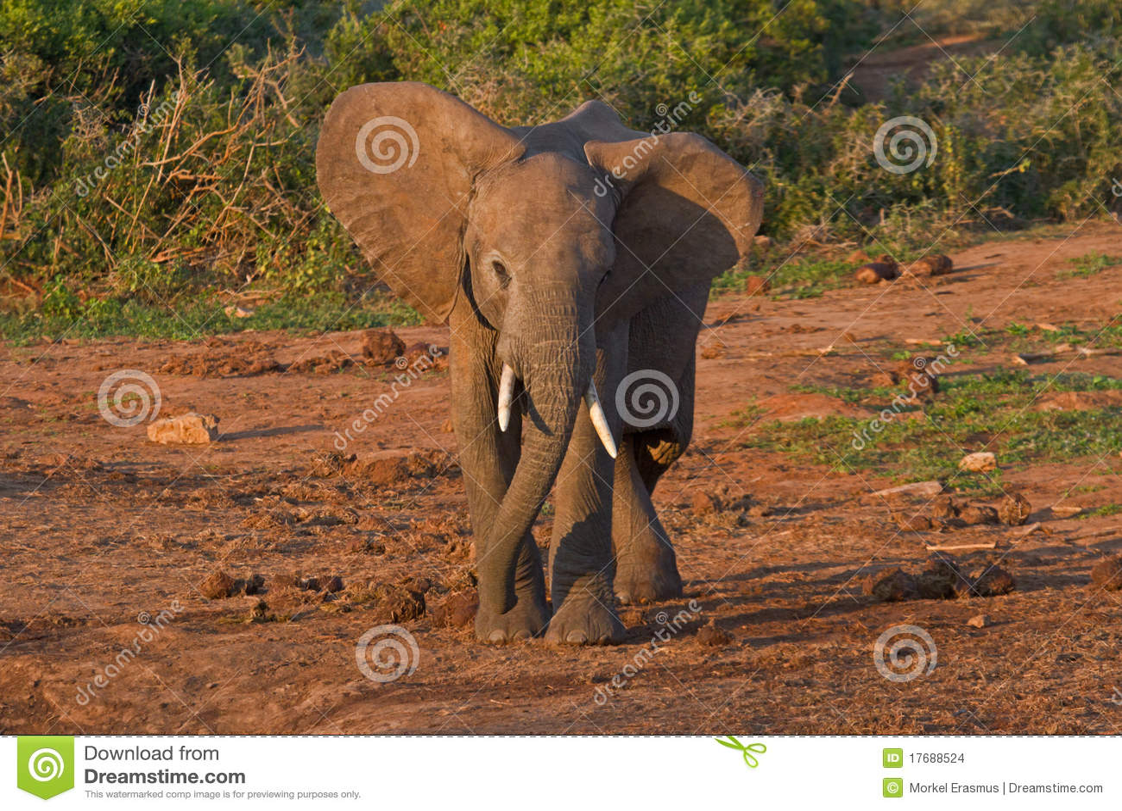 Afrykańskiego słonia przygotowywająca burza potomstwa