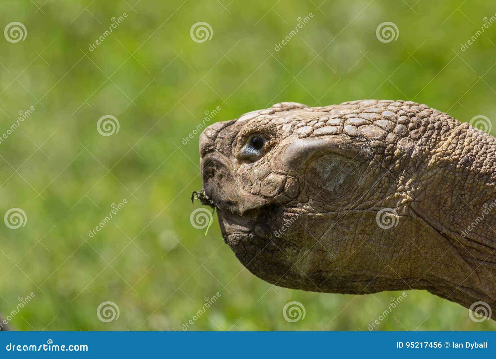 Afrykanin pobudzająca tortoise głowa w zakończeniu up profiluje Natura wizerunek