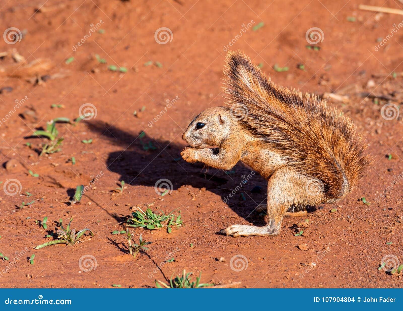 Afrykanin Zmielona wiewiórka z sumiastym ogonem