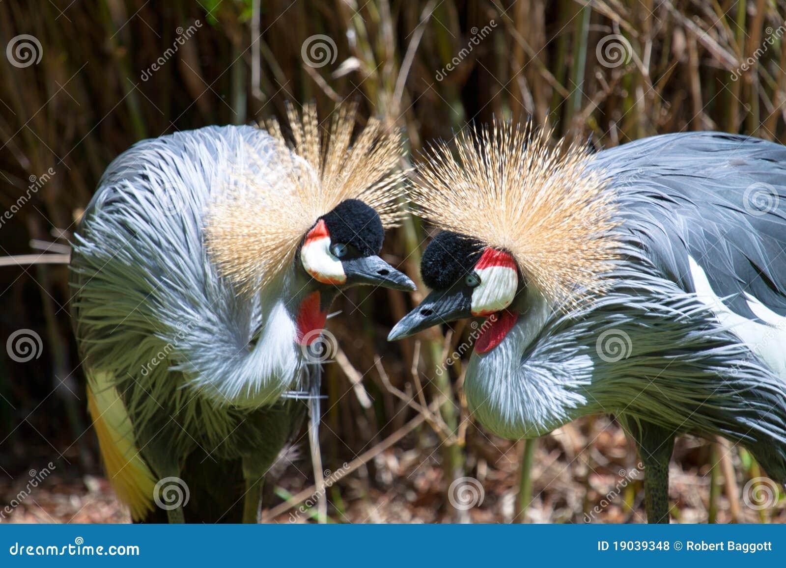 Afrykanina żurawia koronowany wschód