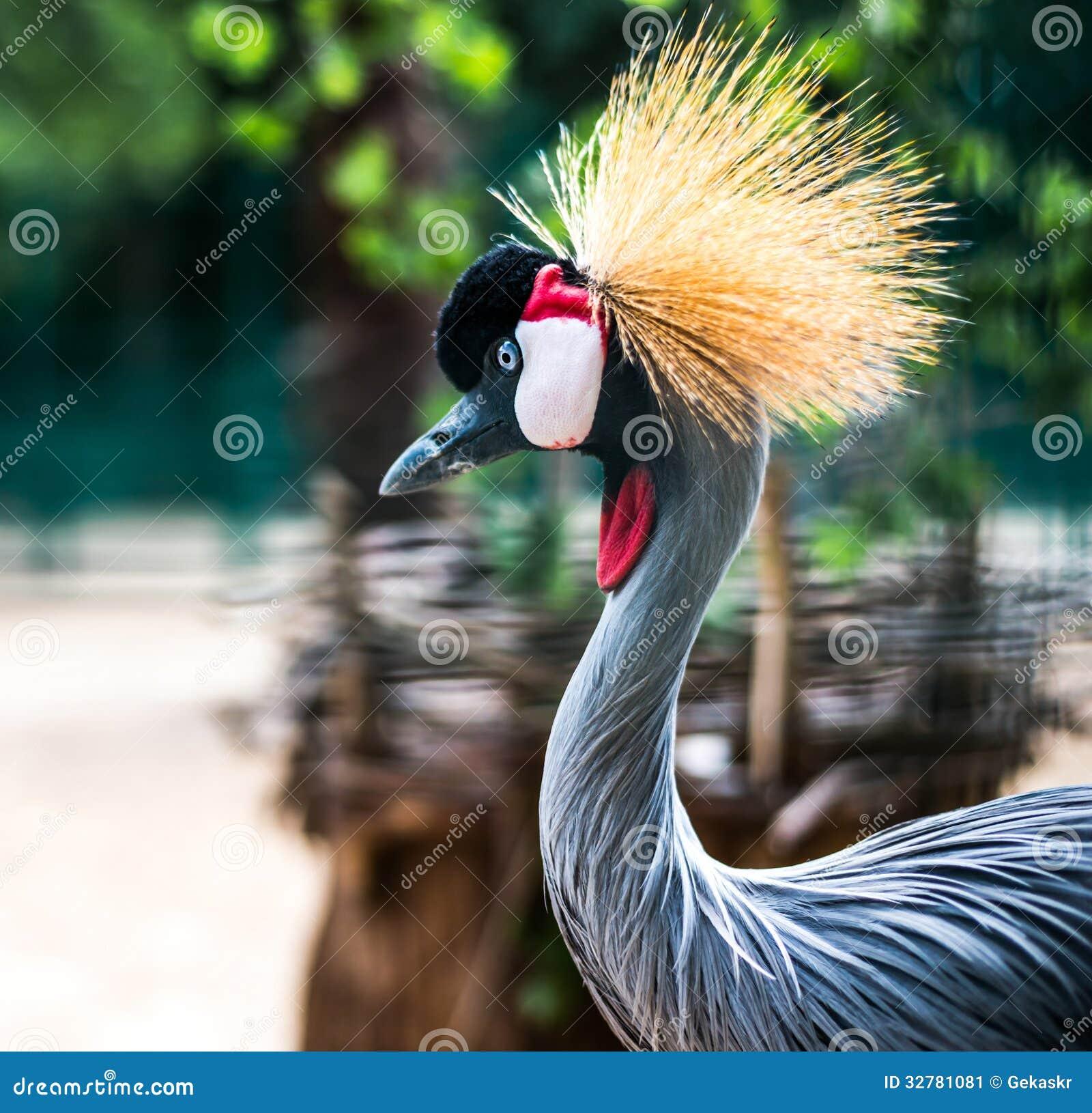 Afrykanina Koronowany żuraw