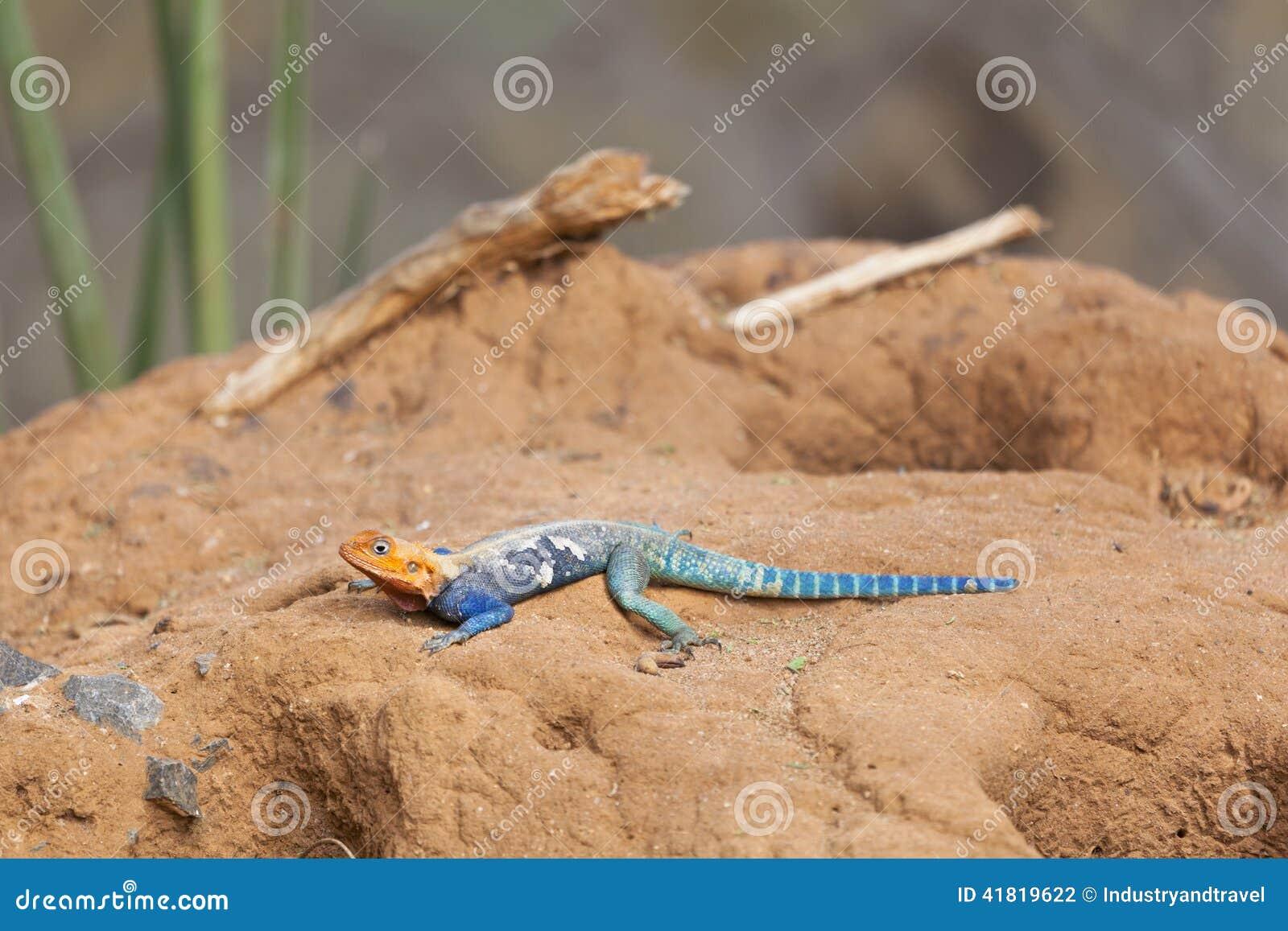 Agama dalla testa rosso della roccia nel Kenya