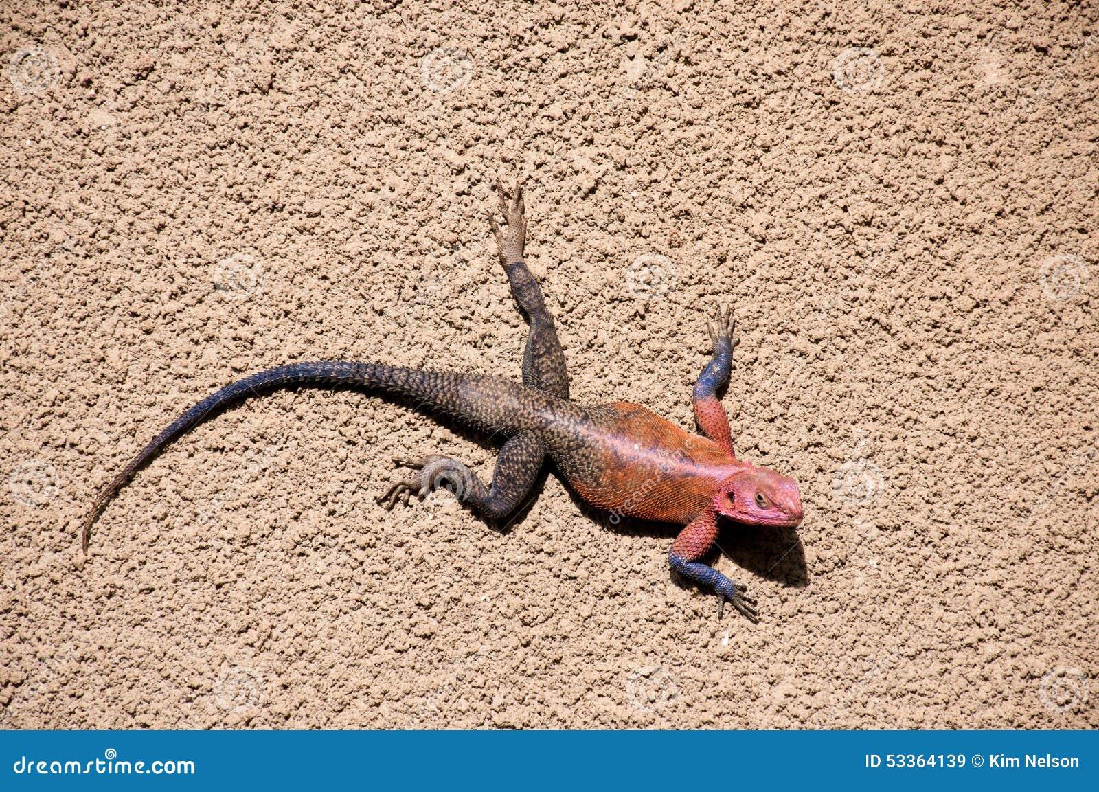 Agama dalla testa rosso maschio della roccia, Tanzania
