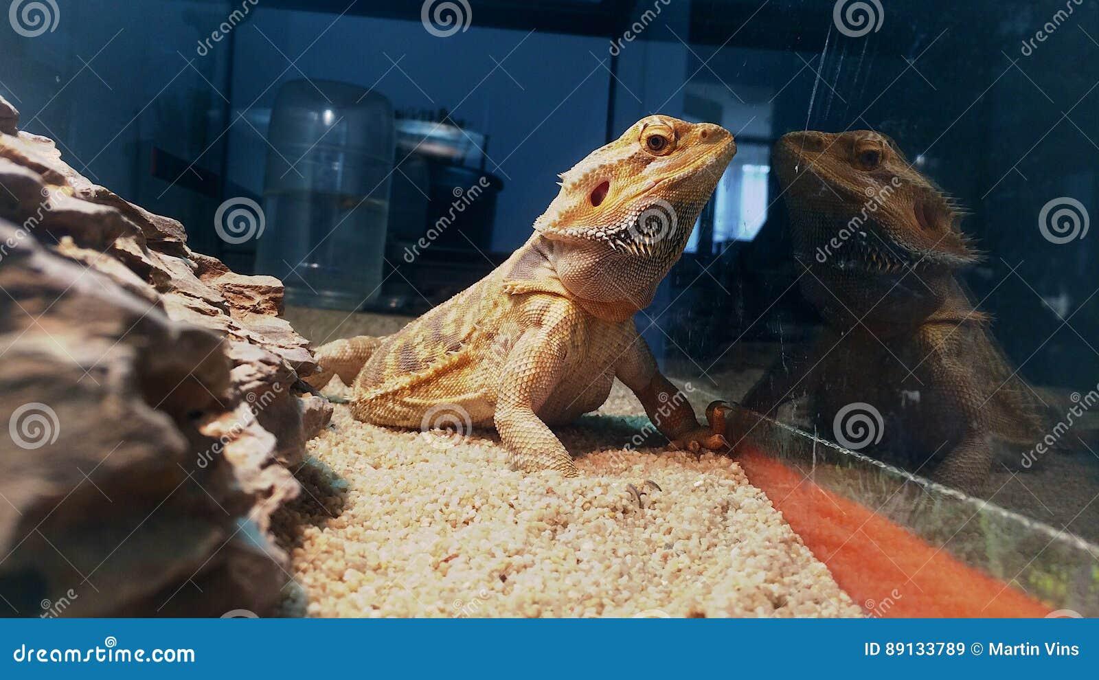 Agama el mejor photomodel animal