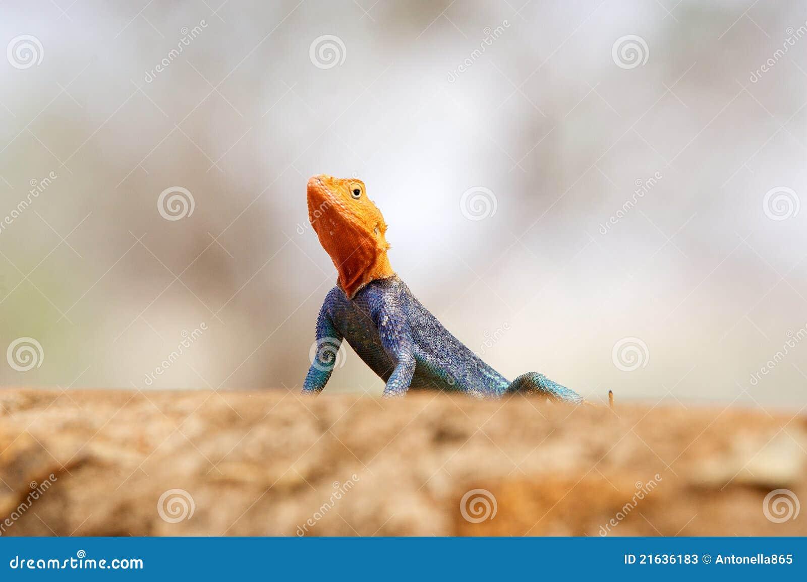 Agama Red-headed della roccia (agama dell agama)