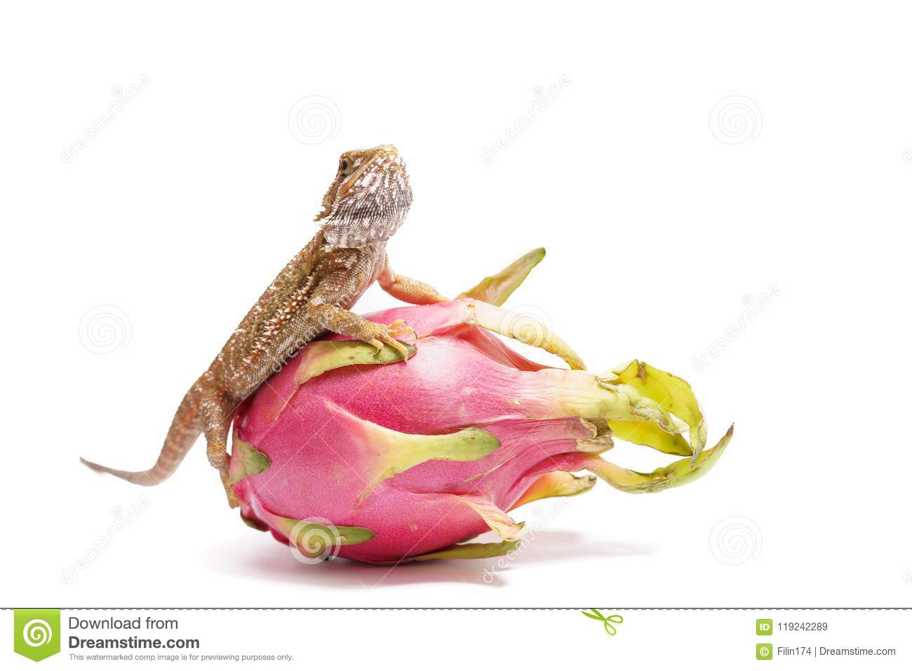 Agama sits on the fruit of pityahya (dragon fruit) as a dragon