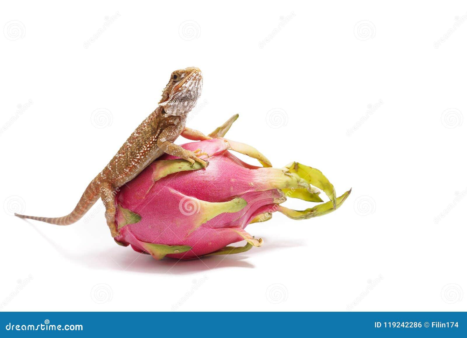 Agama zit op het fruit van pityahya (draakfruit) als draak