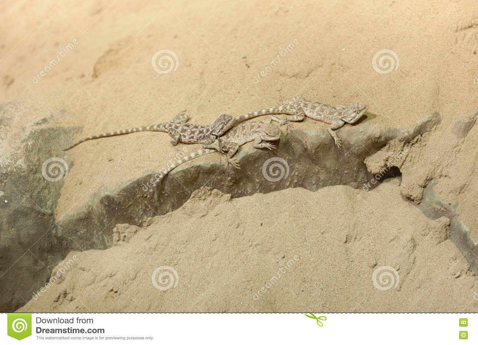 Agame de steppe (sanguinolentus de Trapelus)