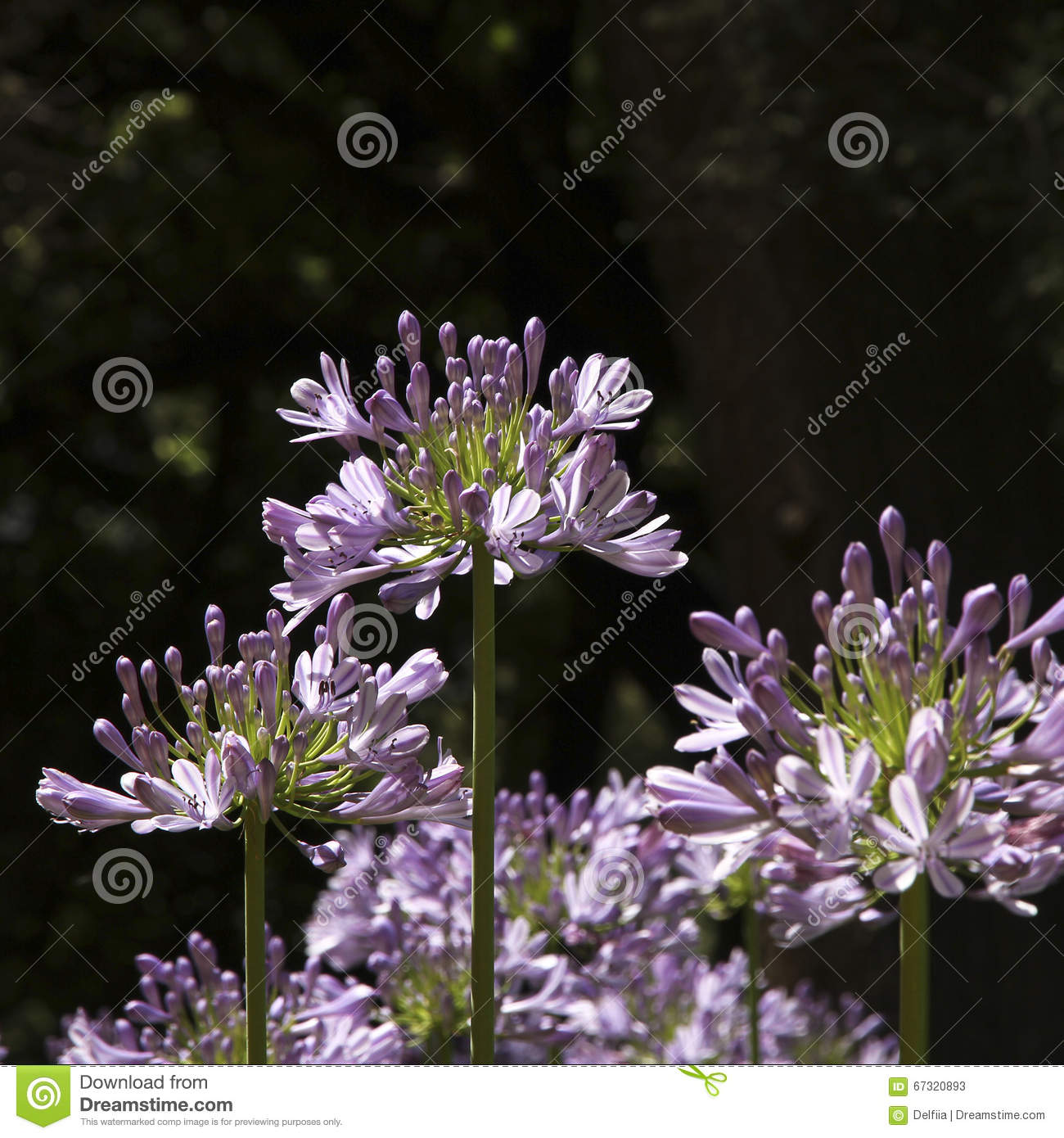 Agapnthus Flower In The Garden Stock Image Image Of Round