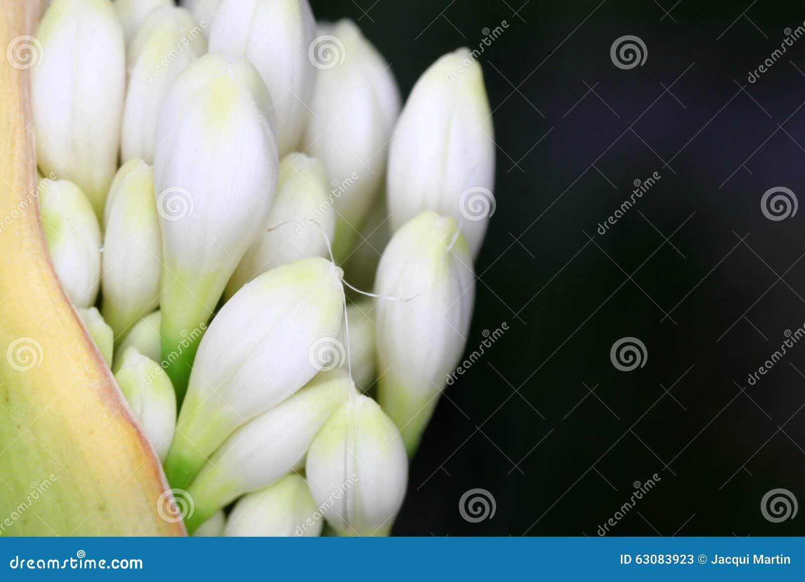 Download Agapanthus image stock. Image du ressort, bleu, instruction - 63083923