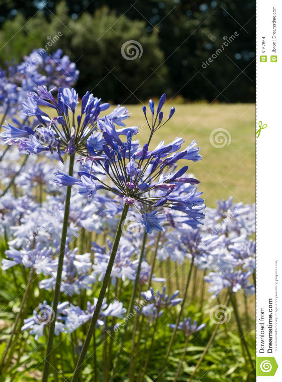 Download Agapanthus (blue flowers) stock photo. Image of green - 6167664