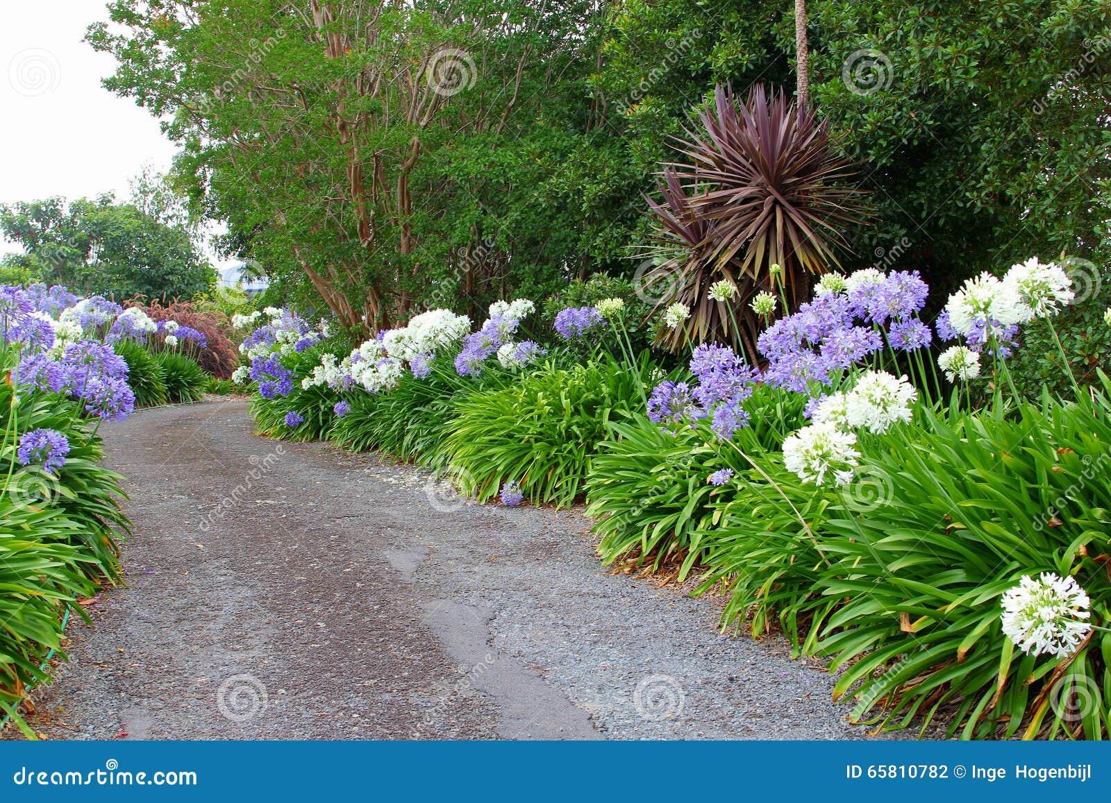 Agapanthus de florescência ao longo de um trajeto no jardim