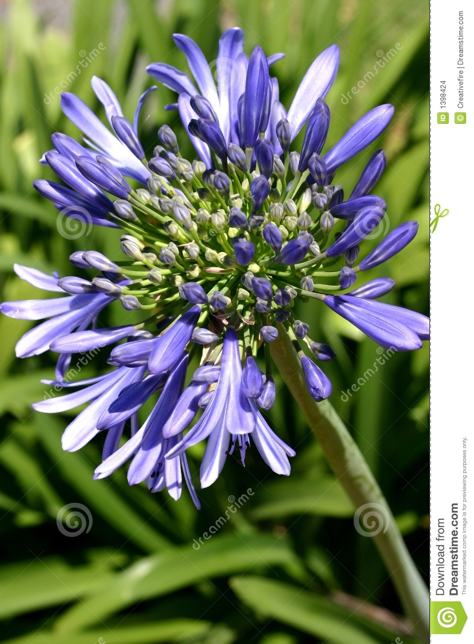 Download Agapanthus Flower stock photo. Image of scent, florets - 1398424