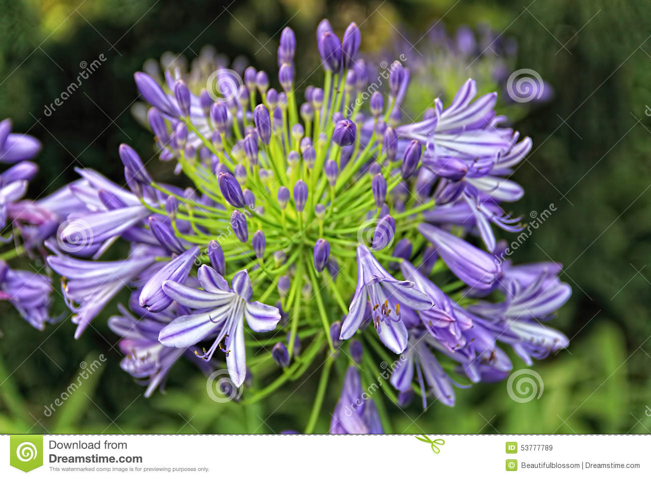 Download Agapanthus flower stock image. Image of blossoming, beautiful - 53777789