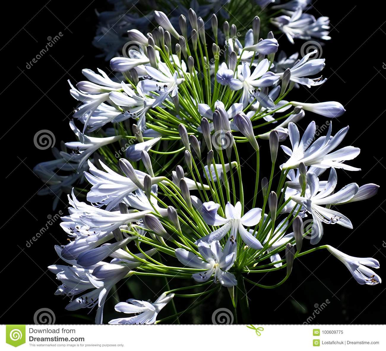 Agapanthus or lily of the nile stock image image of botany lily download agapanthus or lily of the nile stock image image of botany lily izmirmasajfo