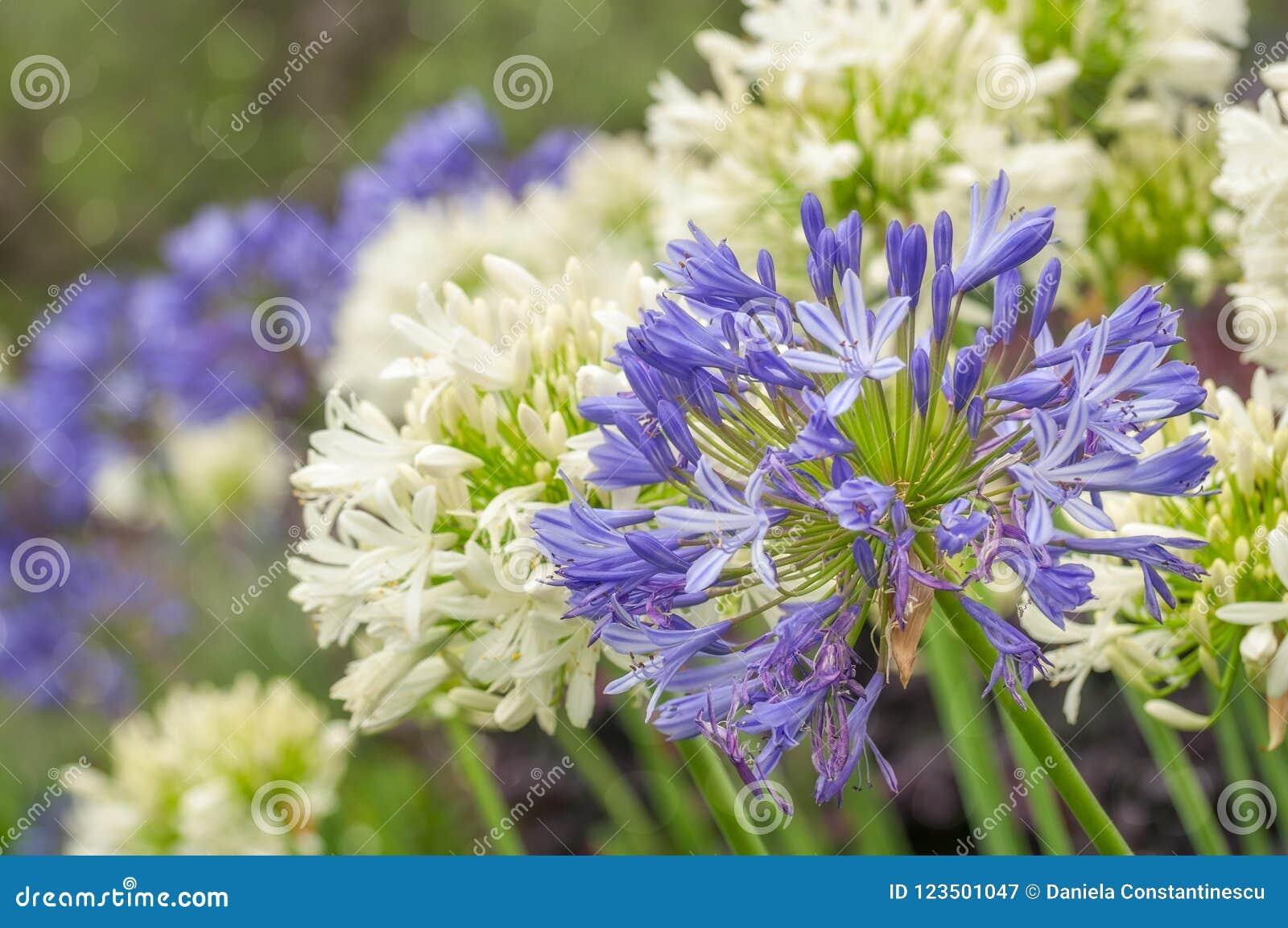 Striking Blue And White Agapanthus Flowers Stock Image Image Of
