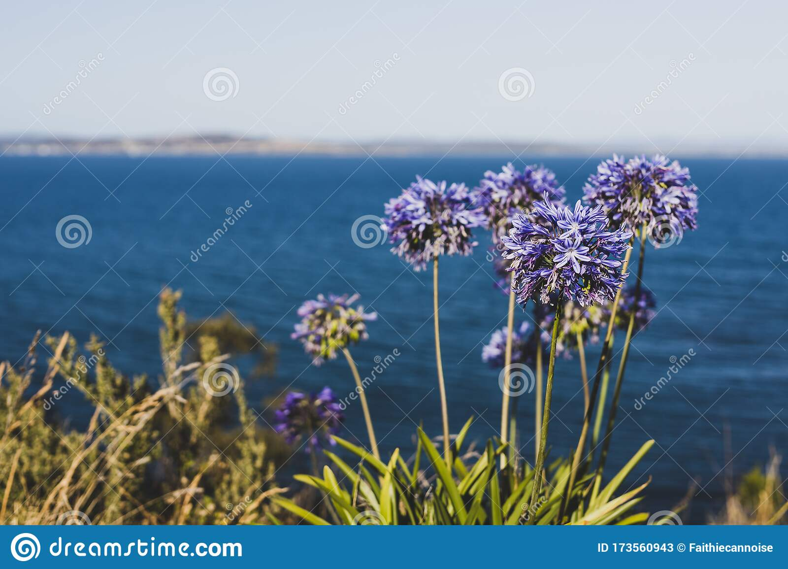 Agapanthus Foglie Gialle agapanthus plant with purple flowers in front of the sea at