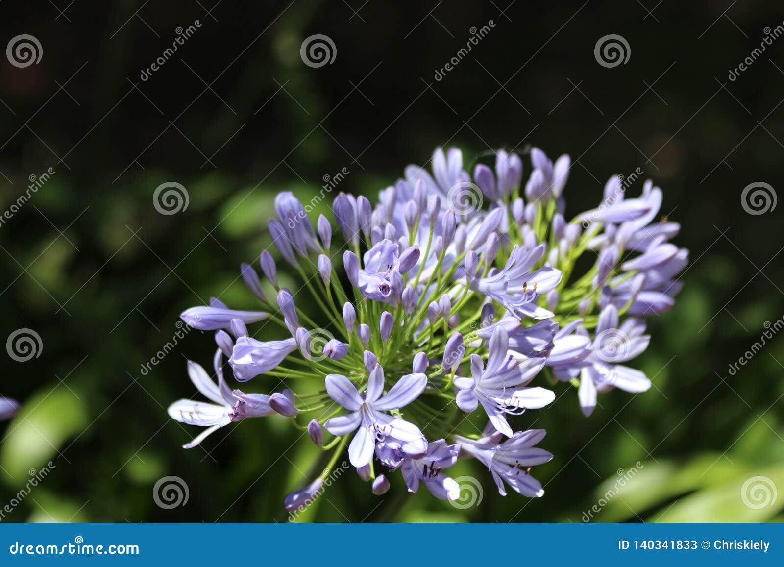 Mauve Agapanthus Flowers Stock Image Image Of Yard 140341833