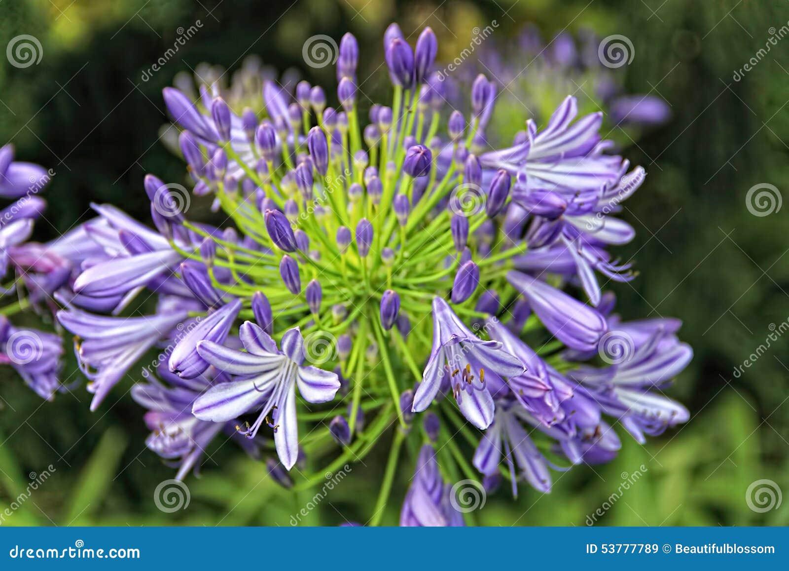 Agapantu kwiat