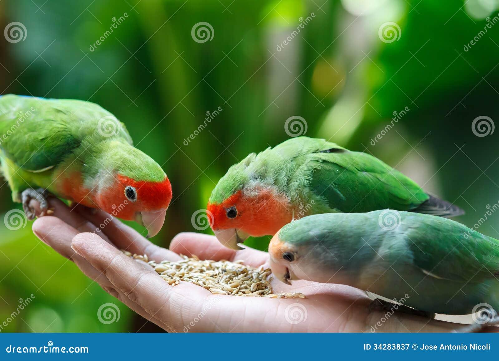 Agapornis di piccioncino