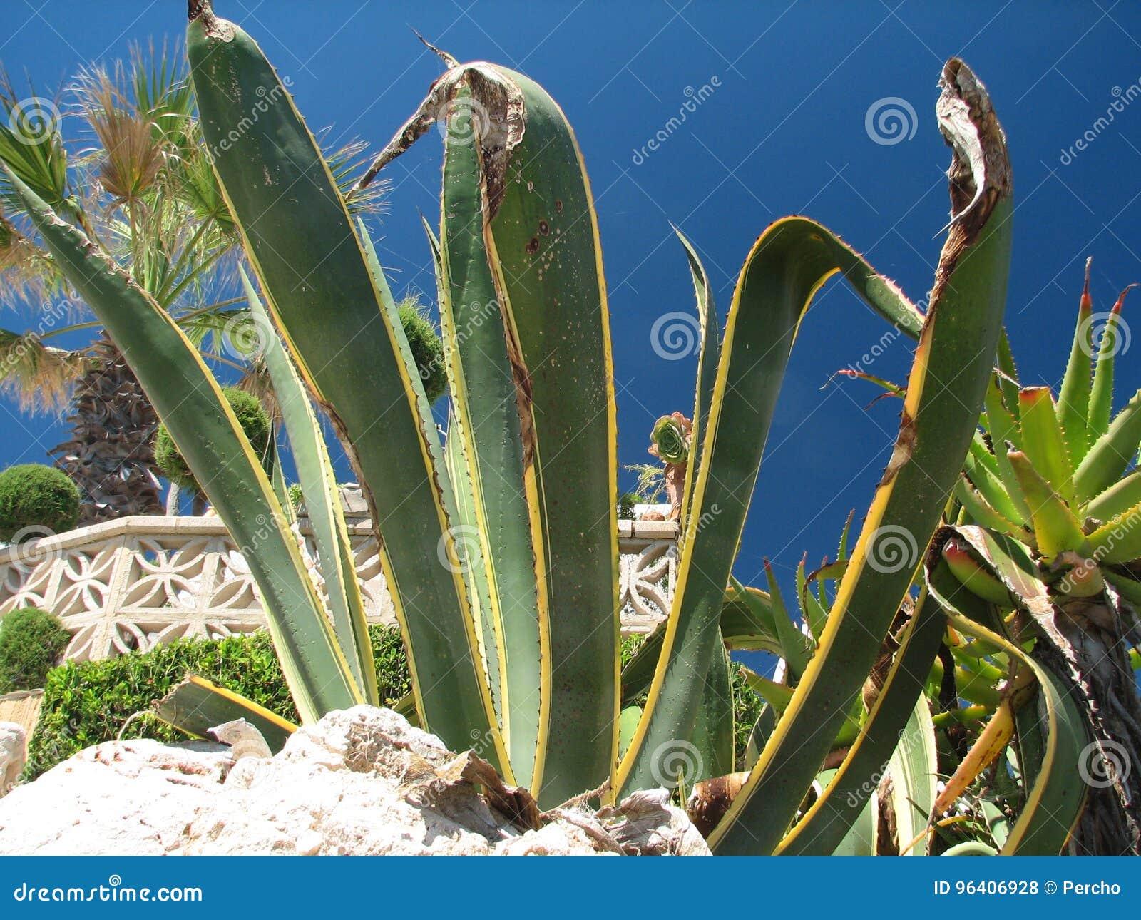agave americana marginata stockfoto bild von agave wache 96406928. Black Bedroom Furniture Sets. Home Design Ideas