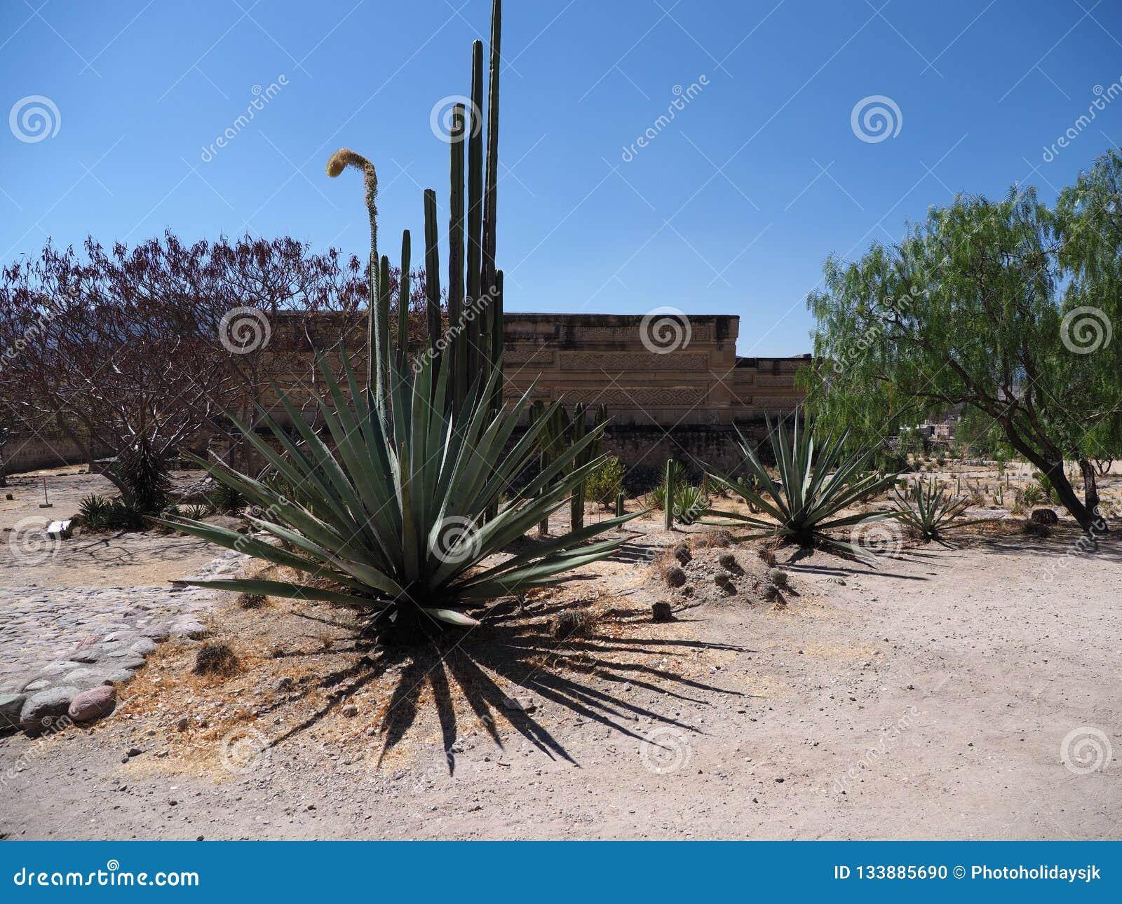 Agave grande na cidade de Mitla no local arqueológico importante da cultura de Zapotec no estado de Oaxaca na paisagem de México