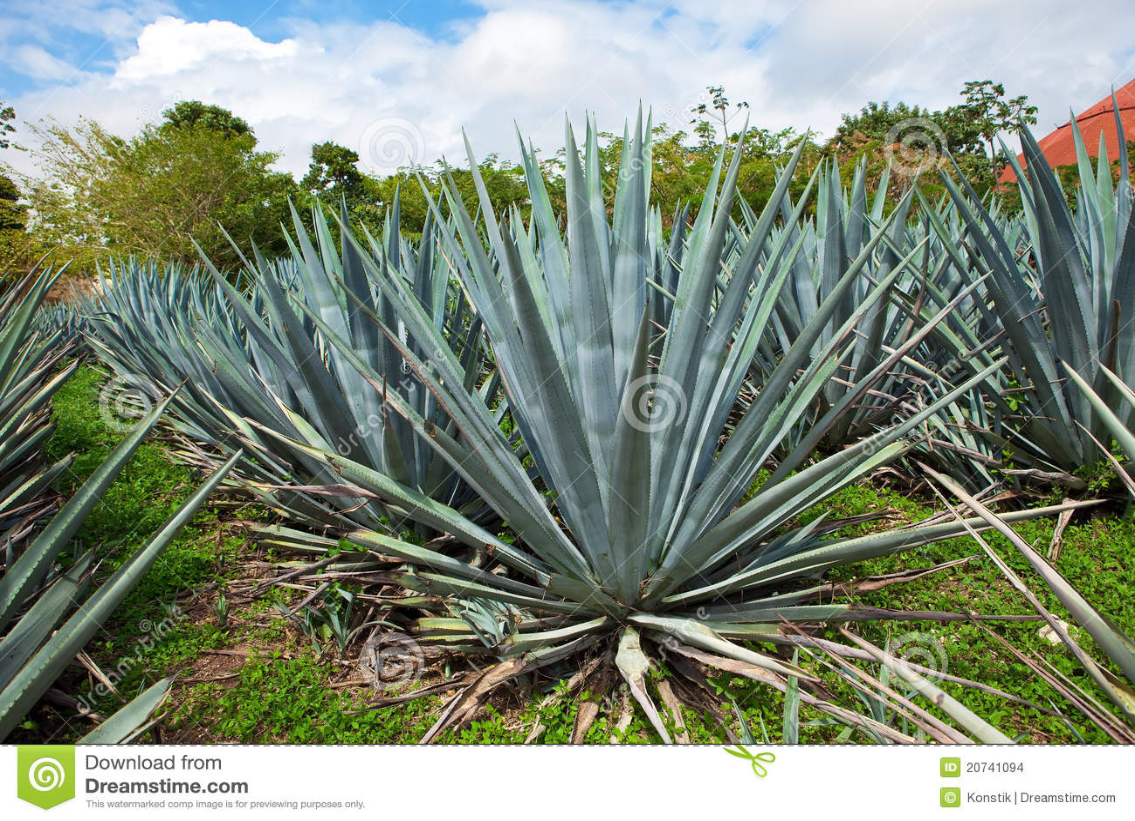 agave le mexique photo stock image du botanique am ricain 20741094. Black Bedroom Furniture Sets. Home Design Ideas
