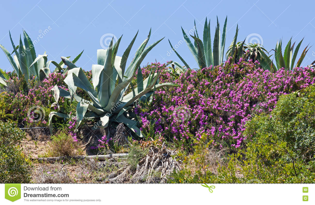 Agave Plant And Purple Flowers Stock Image Image Of Plant