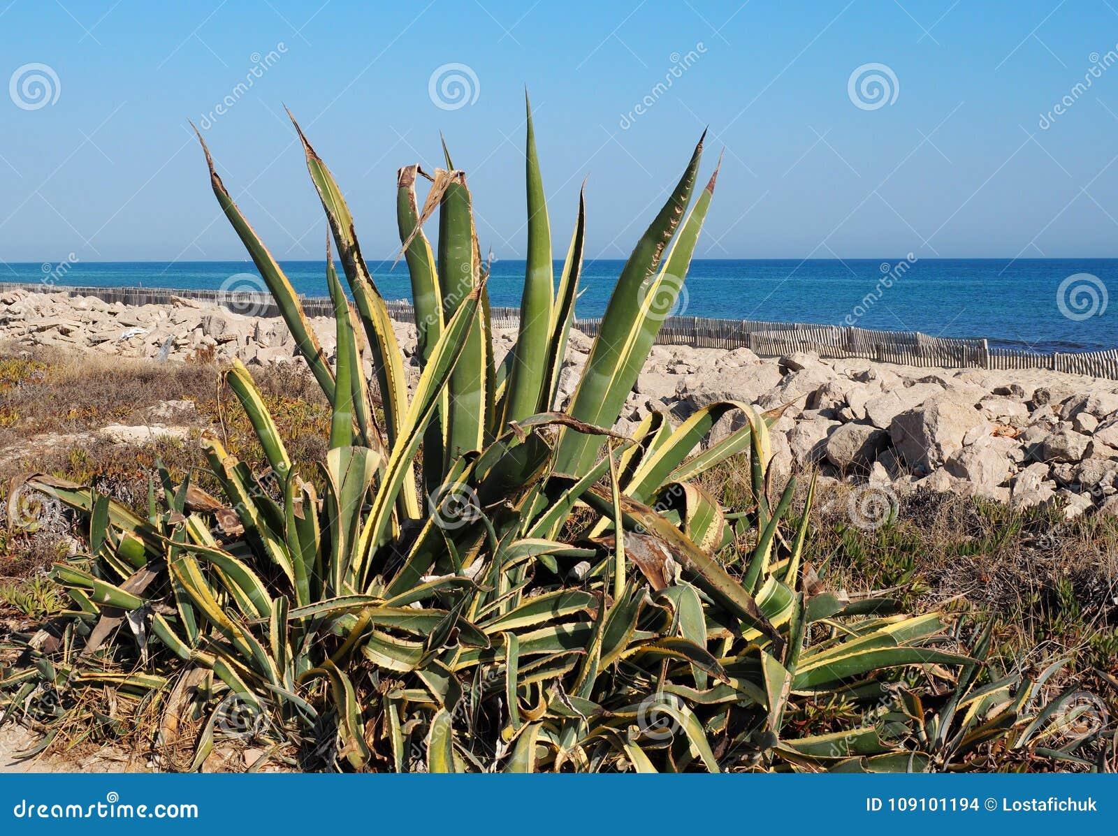 Agave referente à cultura norte-americana ou planta de século Ilha Barreta Portugal