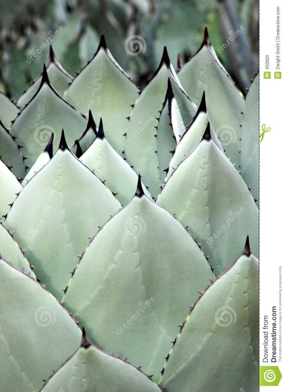 Agave Spears