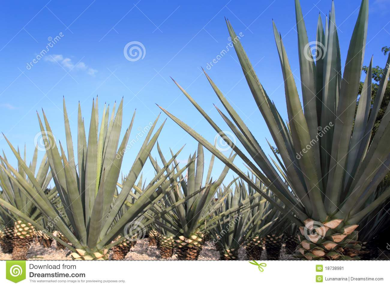 Blue Agave Tequila Plant Agave tequilana plant for