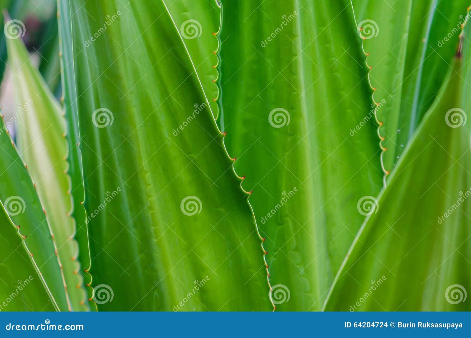 Agaveceae nombrado cactus