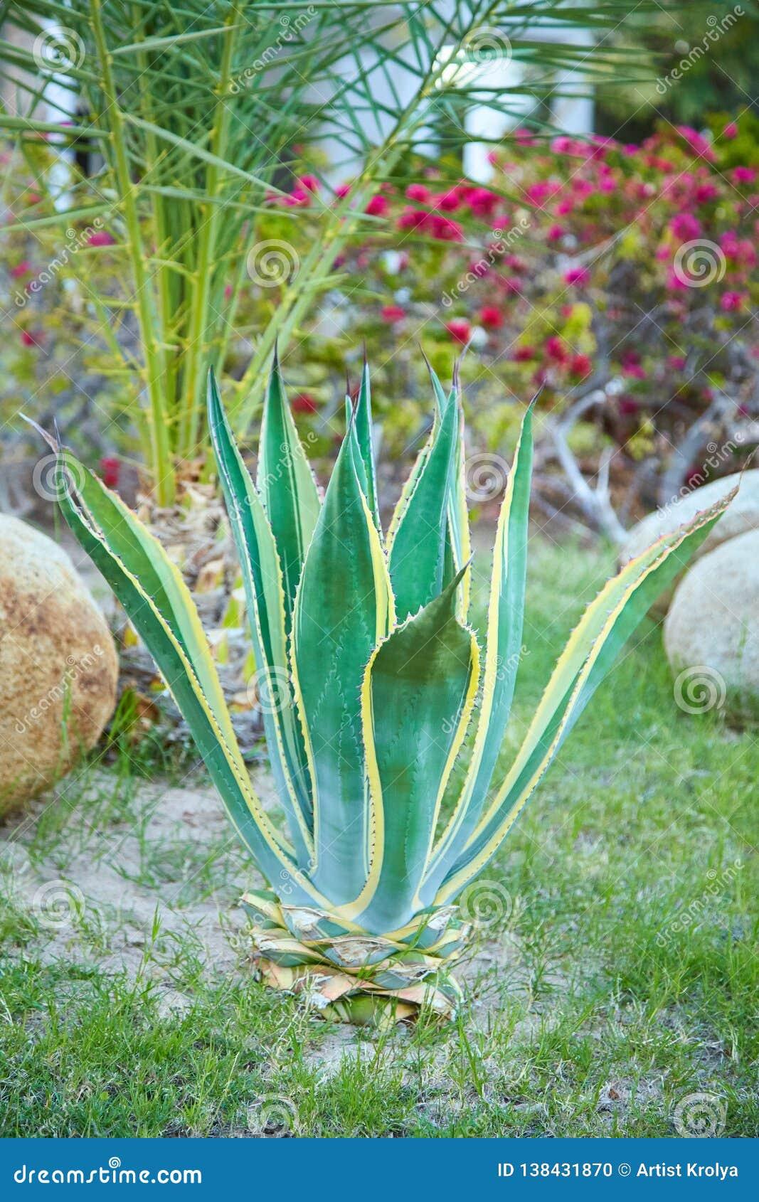 Agavenanlage, die draußen wächst Plantplant Dürrentoleranz der Agave