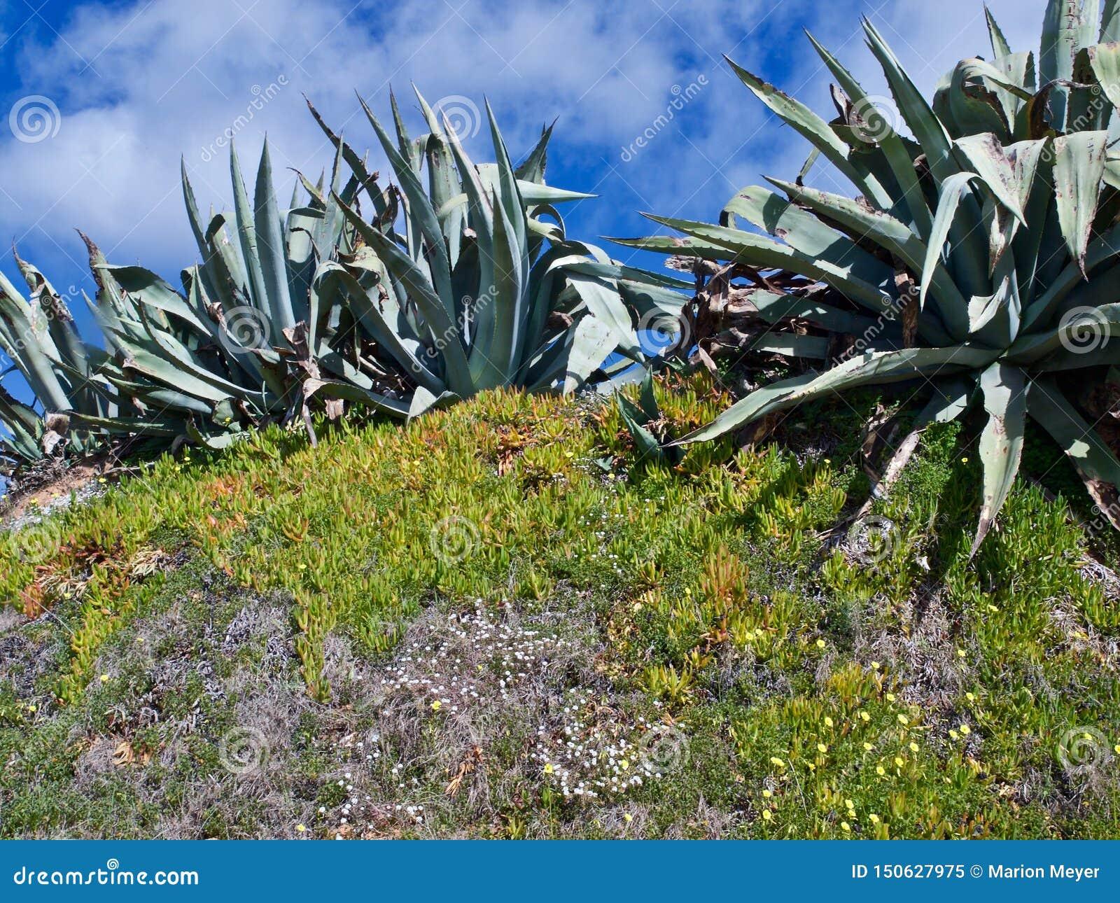 Agawa kaktus w bezpłatnej naturze
