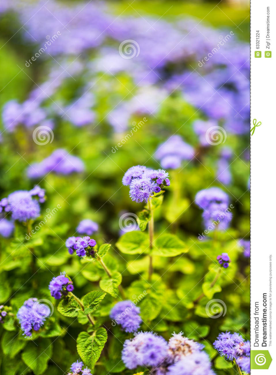 Ageratum Stock Photo Image Of Color Bouquet Detail 63321224
