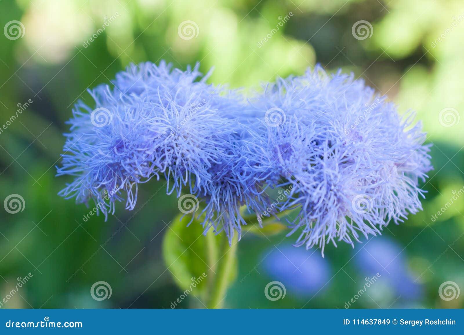 Ageratum violeta hermoso de la flor contra la perspectiva de una hierba verde en el verano en el jardín floreciente Rusia Ural de