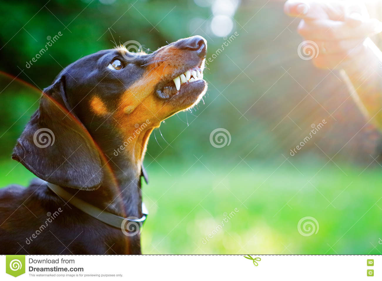 Aggressive Black Dachshund Bared Its Teeth In Front Of The