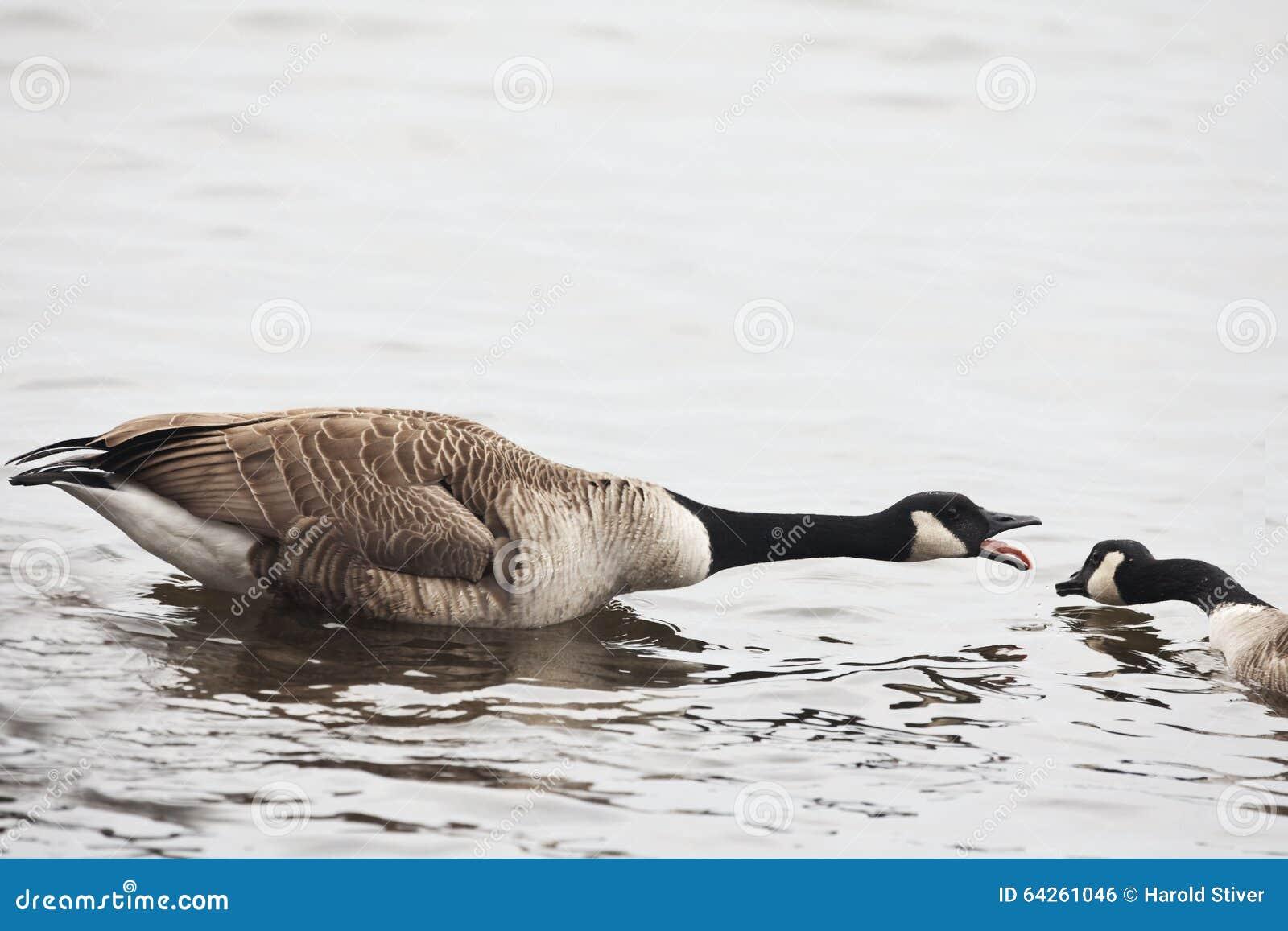 Aggressive Canada Goose, Branta canadensis