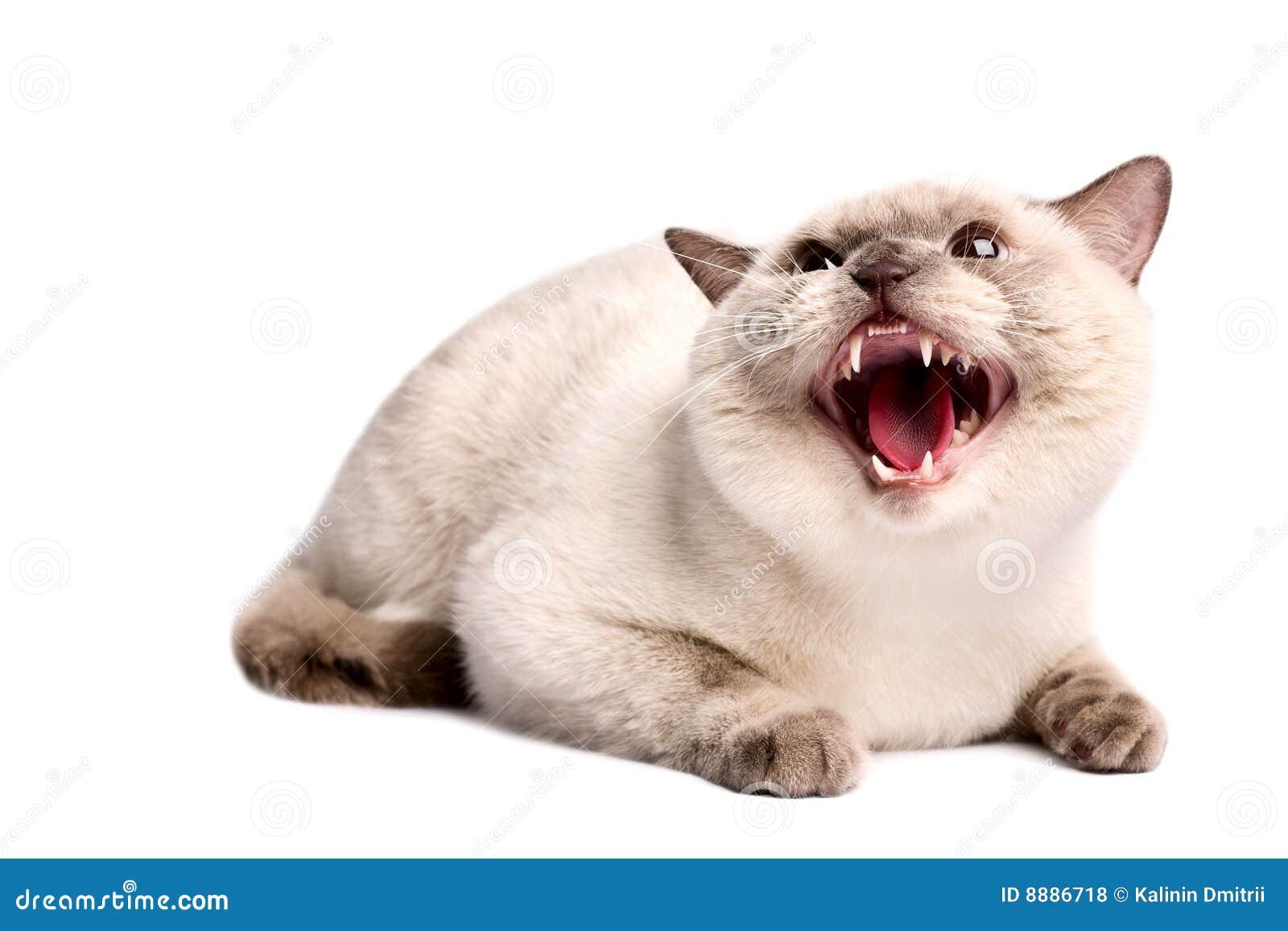 kitten prices