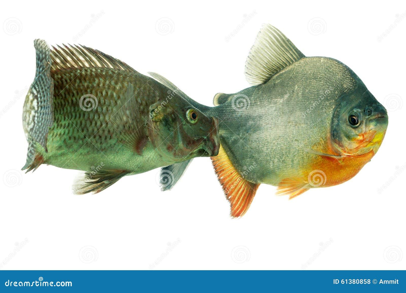 Aggressive tilapia fish in aquarium stock photo image for Tilapia aquarium