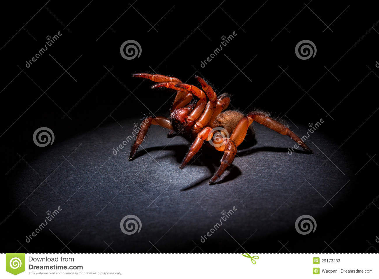 Aggressive Trapdoor Spider Stock Image Image Of Ready 29173283